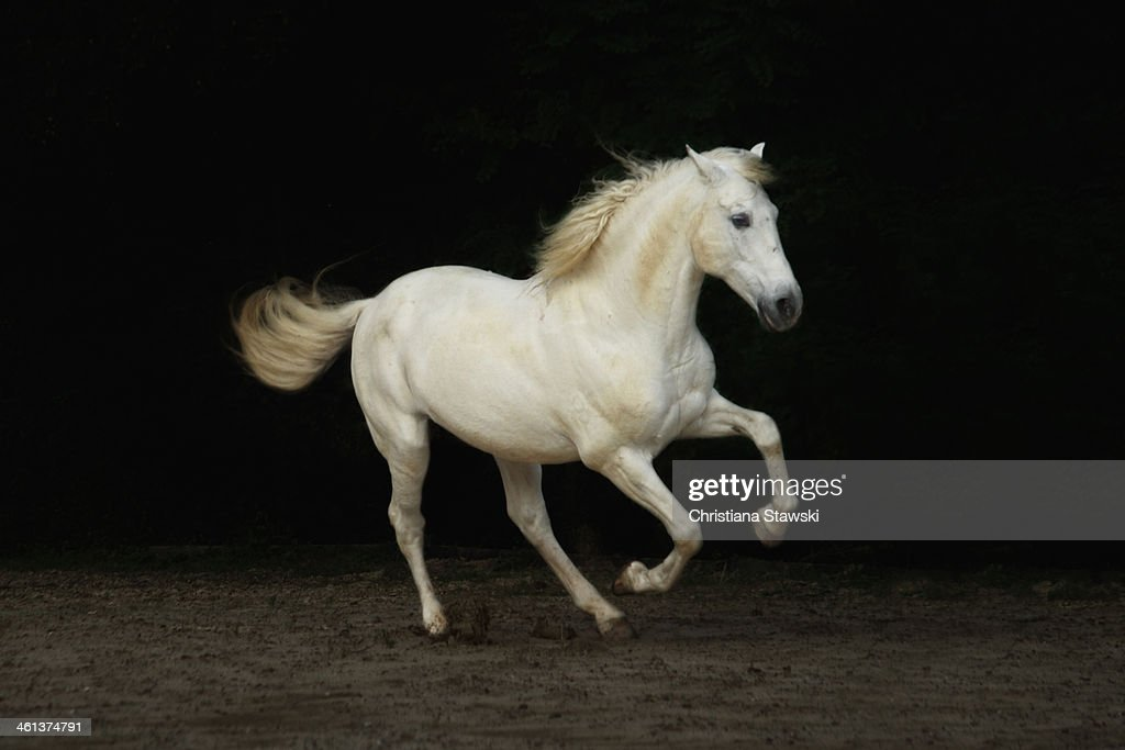 White horse galloping : Stock Photo