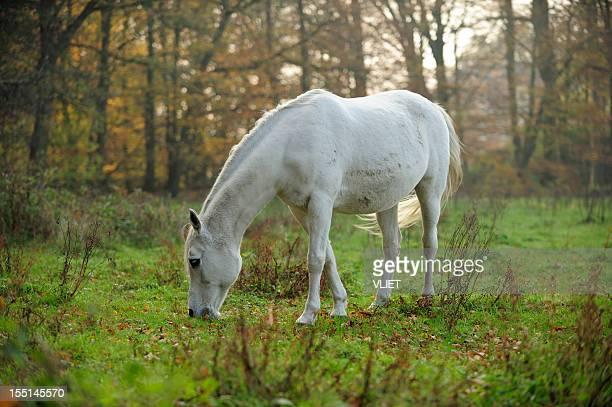 Weißes Pferd beim Grasen