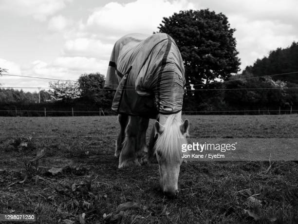 white horse in a field - pollock country park stock pictures, royalty-free photos & images