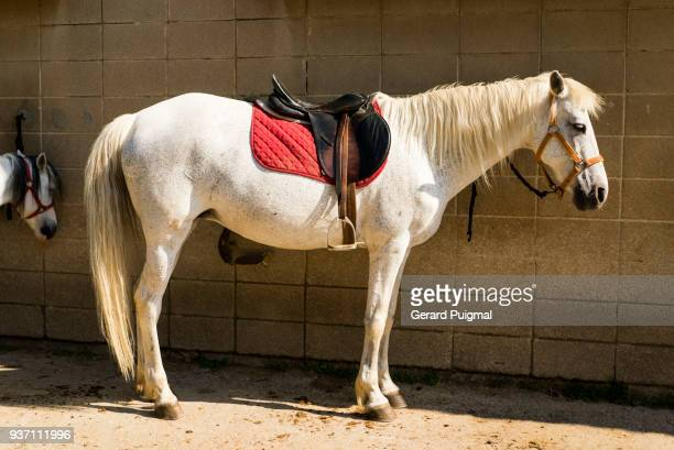 White horse in an equestrian centre with a saddle