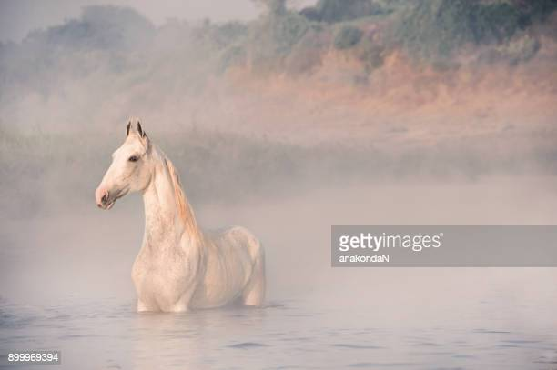 white horse in river at early morning. fog