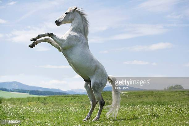 white horse jumping on meadow