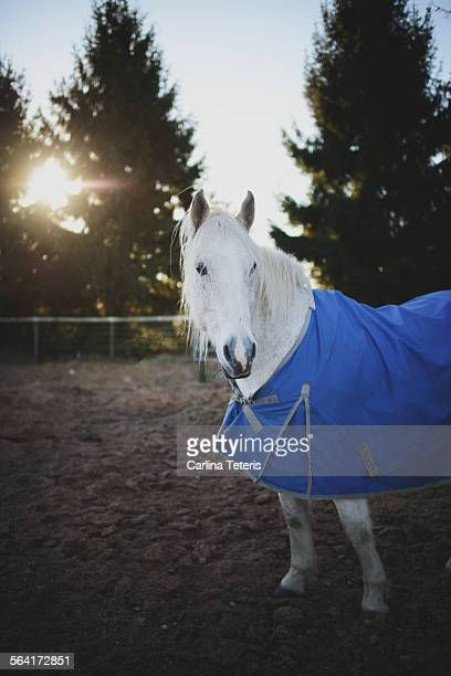 A white horse on a farm with a blanket at sunrise