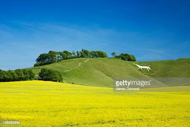 white horse on cherhill down. wiltshire. england. uk. - ウィルトシャー州 ストックフォトと画像