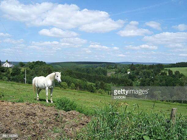 White horse on meadow