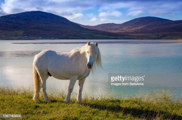 white horse on the isle of harris in the outer hebrides, scotland - hill stock pictures, royalty-free photos & images