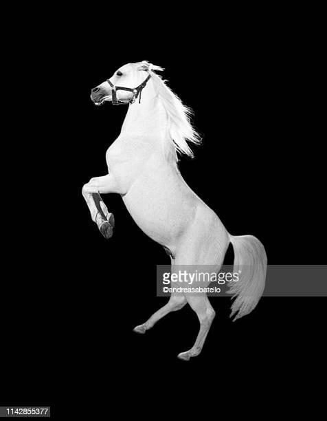 white horse - cheval blanc photos et images de collection