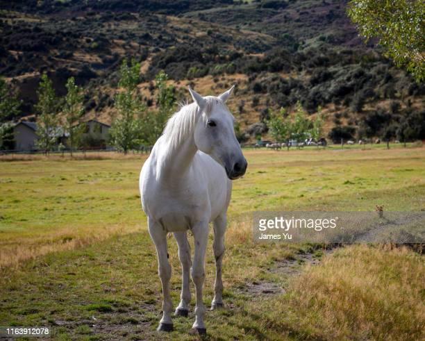 white horse - caballo blanco fotografías e imágenes de stock