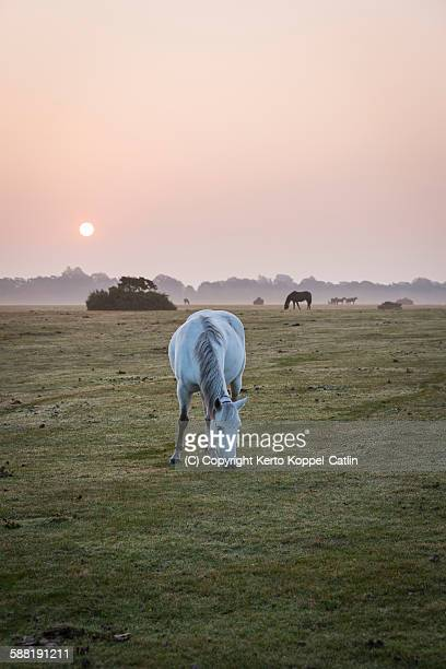 White horse pony feeding at mist sunrise, pink sky