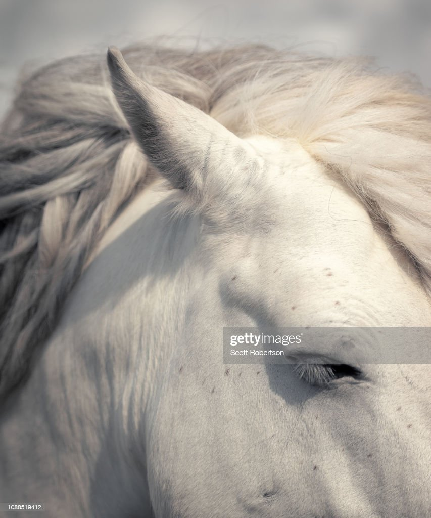White Horse Portrait High Res Stock Photo Getty Images
