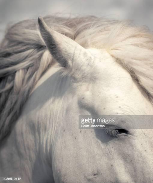 white horse portrait. - cheval blanc photos et images de collection