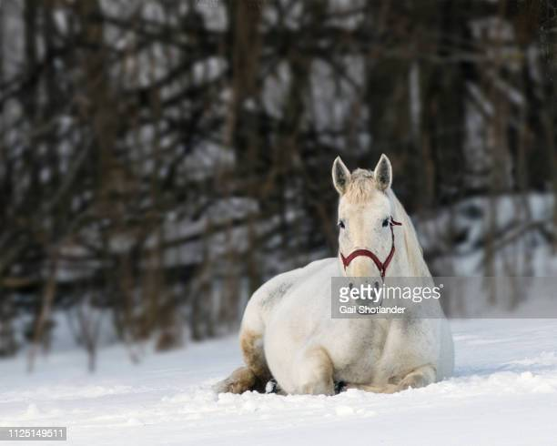 White Horse relaxing in Winter