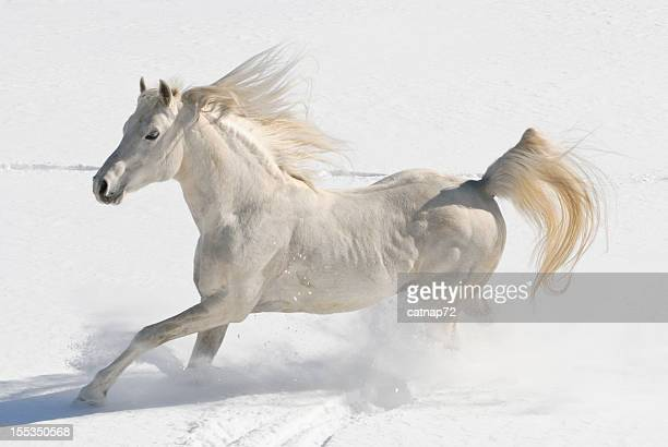 White Horse Running Free in Snow and Sunlight, Arabian Stallion