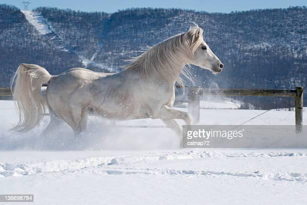 Weißes Pferd laufen frei in Schnee, arabische Stalllion bewegen