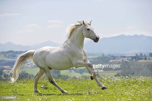 White Horse Stock Photos and Pictures | Getty Images - photo#43