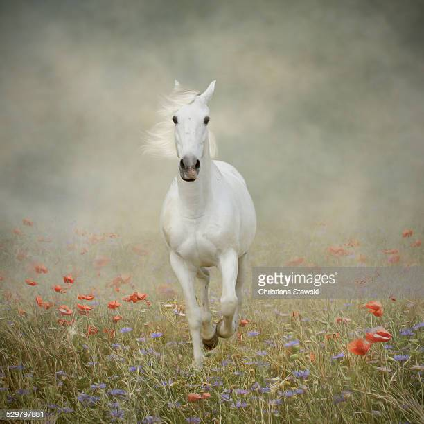 White horse running through poppies