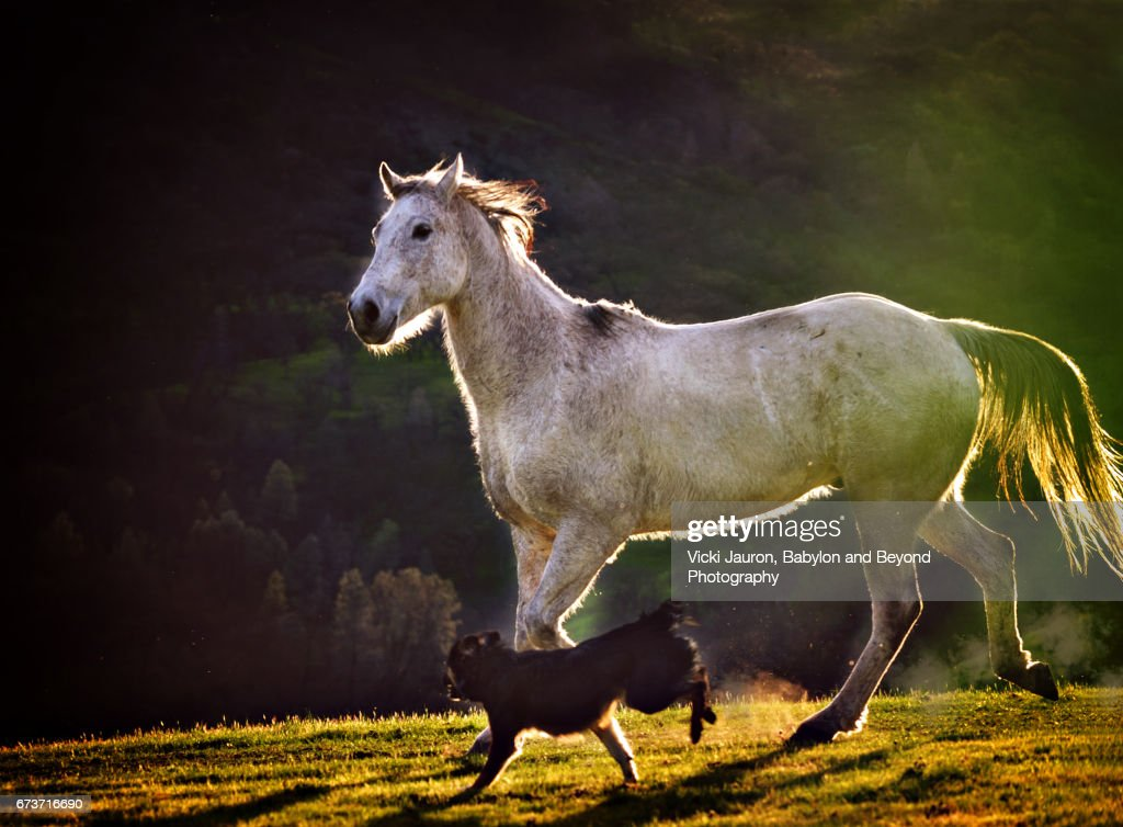 White Horse Running with Border Collie at Sunset : Stock Photo