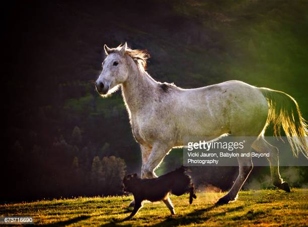 White Horse Running with Border Collie at Sunset