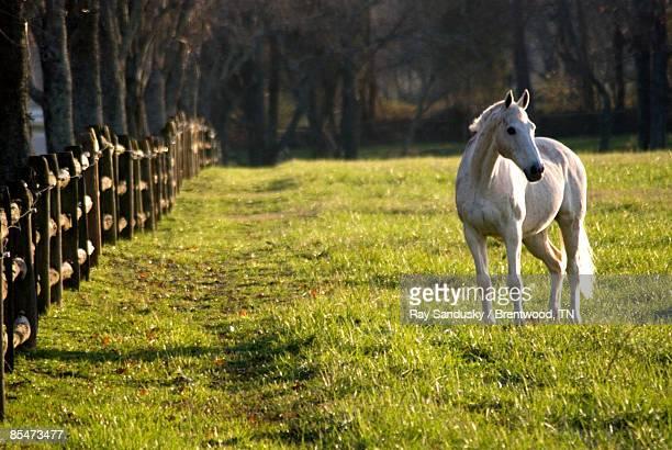 white horse standing in field, looking away - caballo blanco fotografías e imágenes de stock