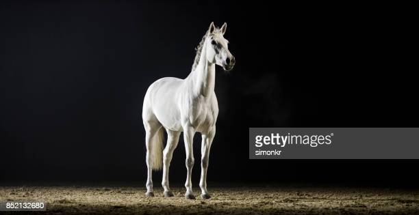White horse standing in riding hall