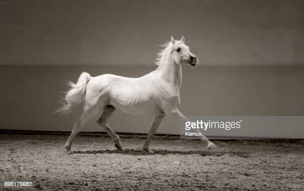 white horse trotting proud in light