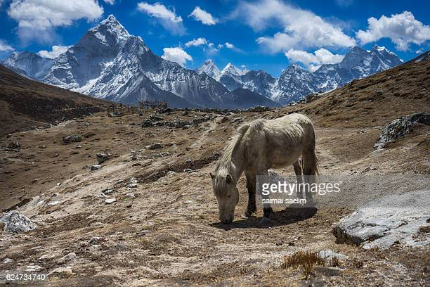White horse with mountain of Ama Dablam and Himalaya ranges in the background, Everest region, Nepal
