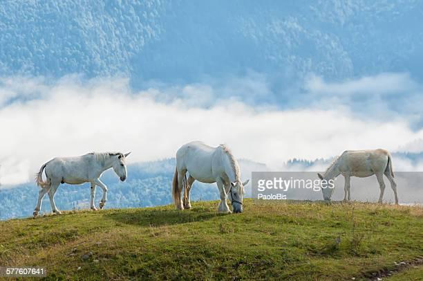 white horses grazing, monte pizzoc, veneto, italy - トレヴィーゾ市 ストックフォトと画像