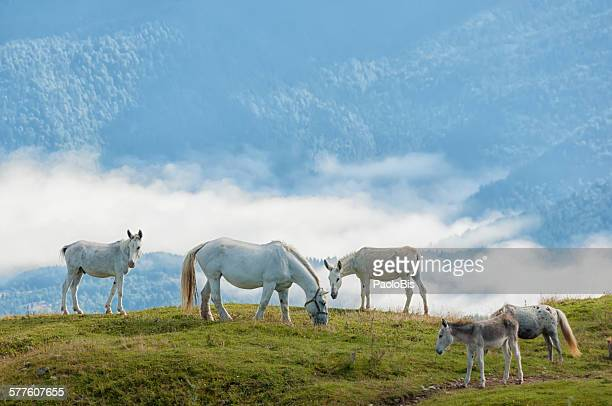 White horses grazing, Monte Pizzoc, Veneto, Italy