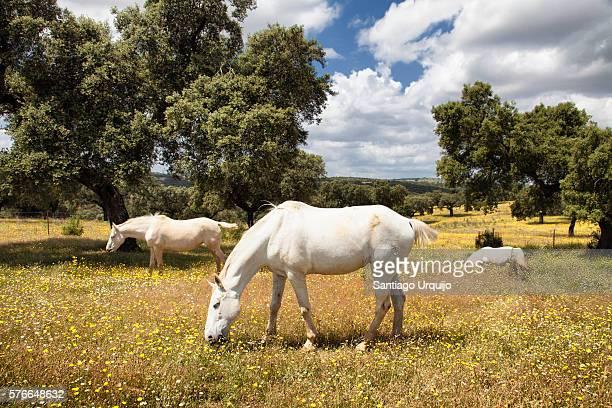 White horses grazing on a dehesa