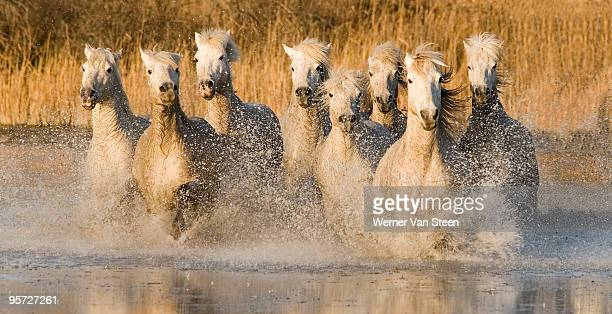 white horses running through water, france - nature stockfoto's en -beelden