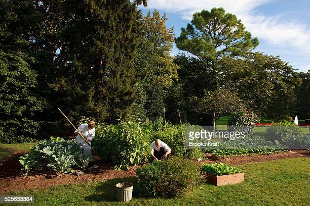 White House chefs and kitchen staff work in the Kitchen Garden located on the South Lawn of the White House. Since early May the chefs have harvested...