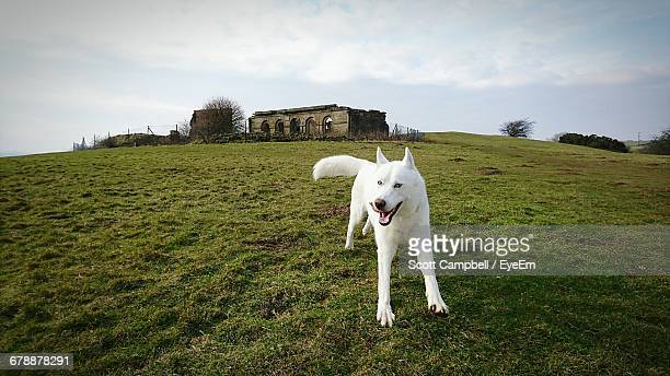 White Husky On Grassy Field Against Sky