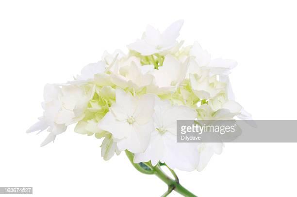 ホワイトアジザイフラワー絶縁型 - あじさい ストックフォトと画像