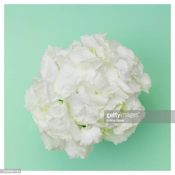 white hydrangea - emma baker stock pictures, royalty-free photos & images
