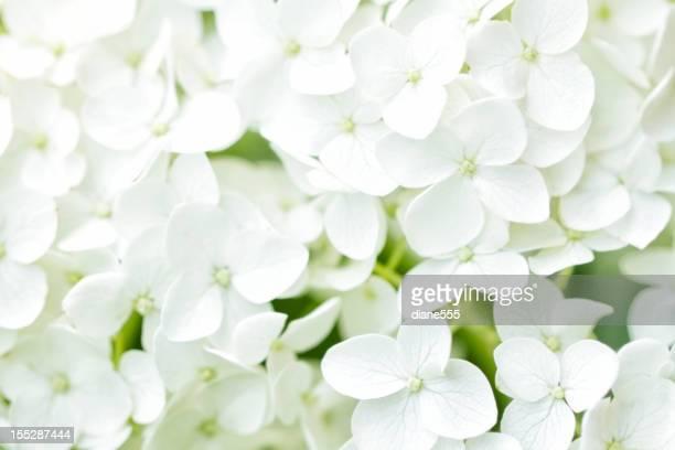 ホワイトアジザイ