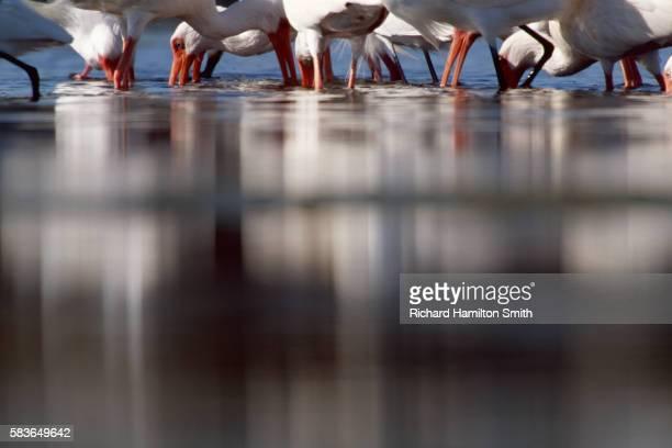 White ibis feeding at Ding Darling National Wildlife Refuge on Sanibel Island