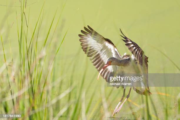white ibis in flight - juvenile - national forest stock pictures, royalty-free photos & images