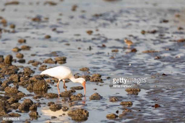 white ibis - alma danison stock photos and pictures