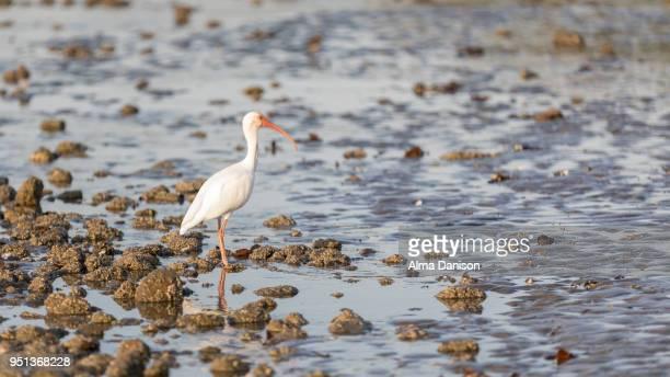 white ibis - alma danison - fotografias e filmes do acervo