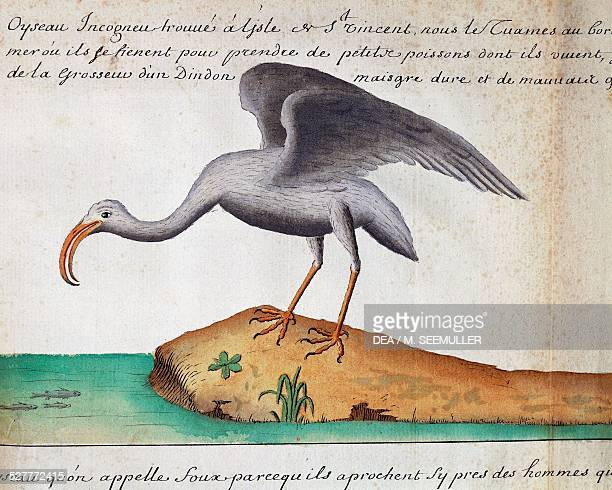 White Ibis Sao Vicente island Cape Verde watercolor from the log book by Jacques Gouin de Beauchesne captain of the Compagnie royale de la Mer du Sud...