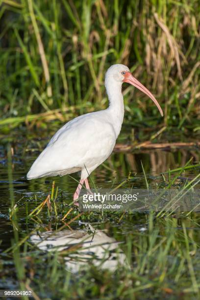 white ibis (eudocimus albus) wading in water, everglades national park, anhinga trail, florida, usa - anhinga_trail stock pictures, royalty-free photos & images