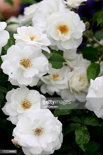 White iceburg roses