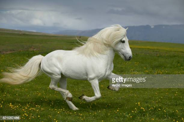 white icelandic stallion running in meadow - pony stock pictures, royalty-free photos & images