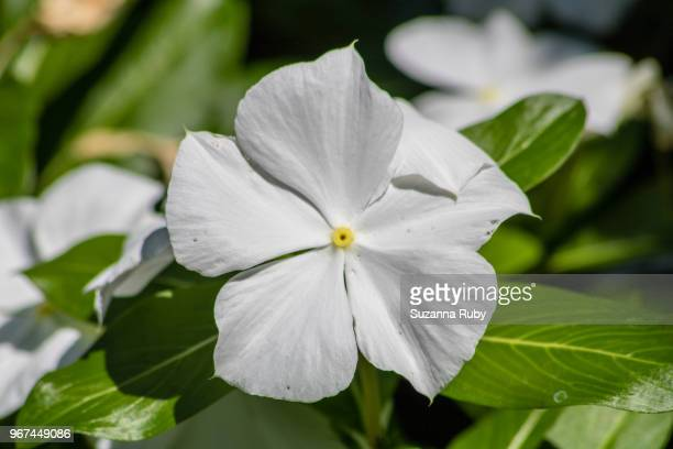 white impatient - impatience flowers stock pictures, royalty-free photos & images
