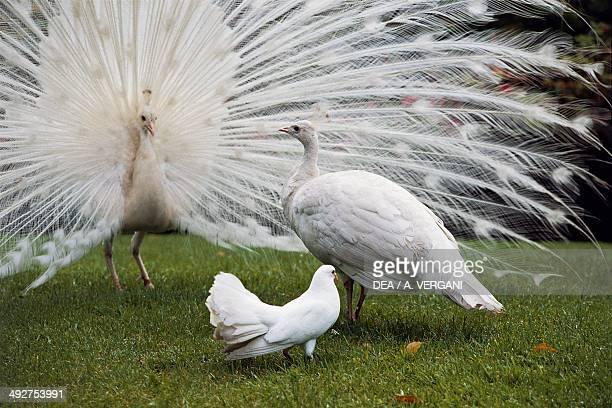 White Indian peafowls Phasianidae Isola Bella Borromean Islands Lake Maggiore Italy