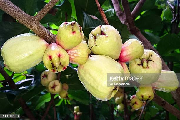 white jambos (syzygium jambos) - crmacedonio stock pictures, royalty-free photos & images