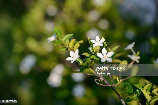 white jasmine flower - jasmine stock photos and pictures