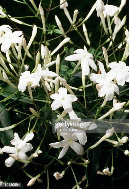 White Jasmine Oleaceae