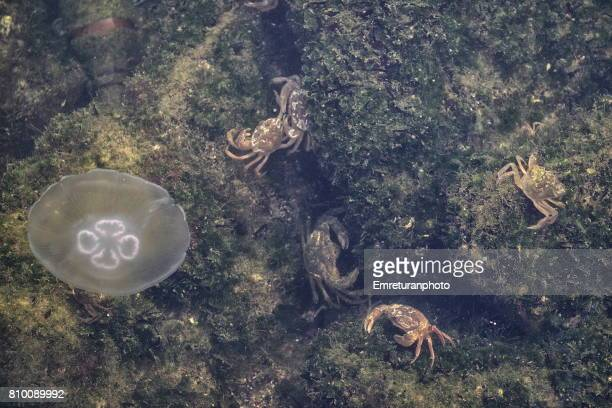 a white jellyfish floating towards crabs in izmir bay in aegean turkey. - emreturanphoto stock pictures, royalty-free photos & images