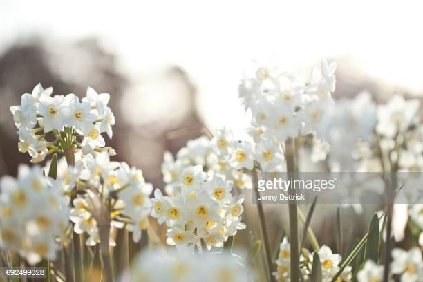 white jonquil flowers - narcissus mythological character stock photos and pictures